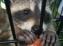 Raccoon Summer