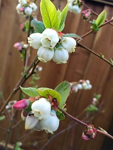 Blueberry Blossoms: Premonitions of the Fruit to Come